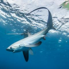 Image: the big-eyed, long-tailed thresher shark