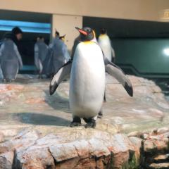 penguin-standing-in-zoo-compound-with-wings-flapping